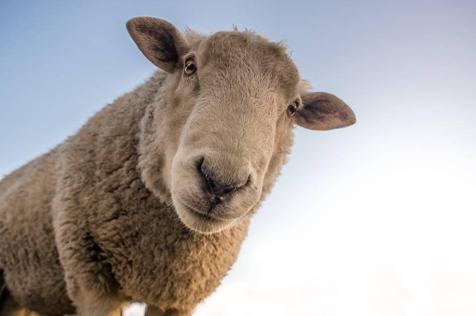 hemp vs sheep 960 720
