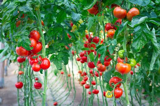 pomidor agro